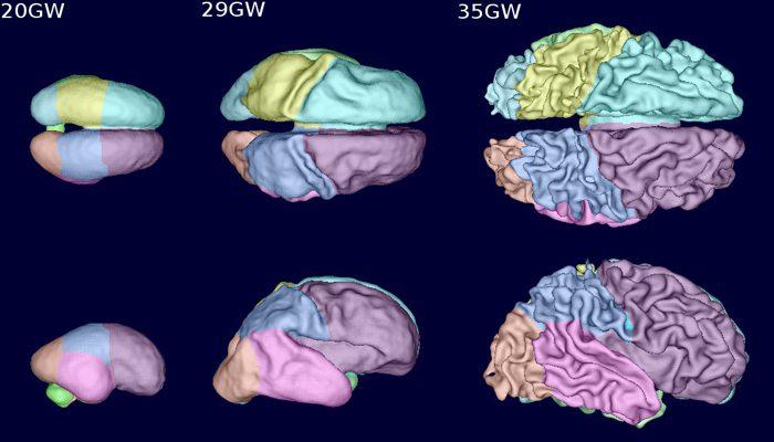 مراحل ابتدایی رشد مغز جنین